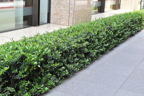 ハマヒサカキ 植木
