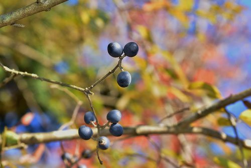 fruits of Japanese privet,picture