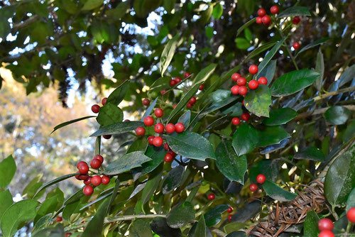 christmas,ornament,tree,red fruits