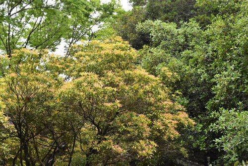 Japanese andromeda,garden,tree