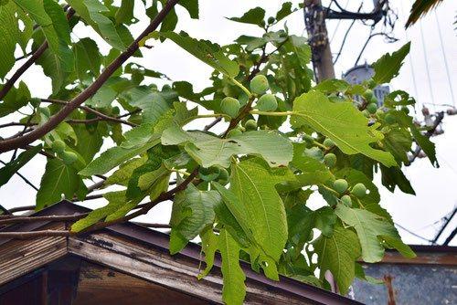 Fig tree,fruits,いちじく