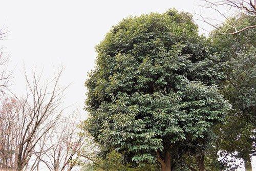 アラカシ 画像 樹木