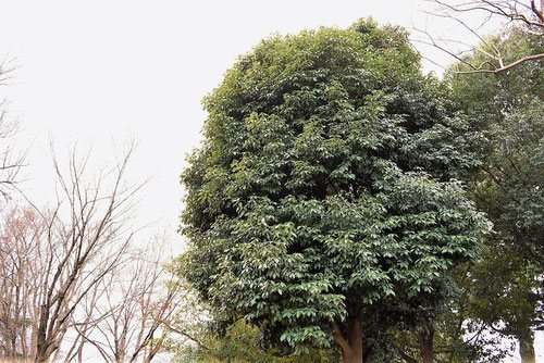 アラカシ,あらかし,画像,樹木