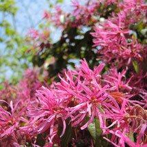 purple flowers in Japan