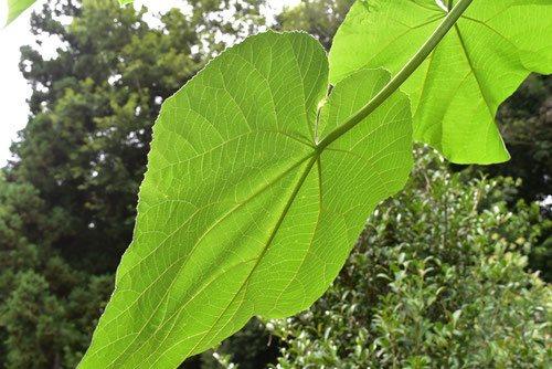 桐の木 葉っぱ 写真