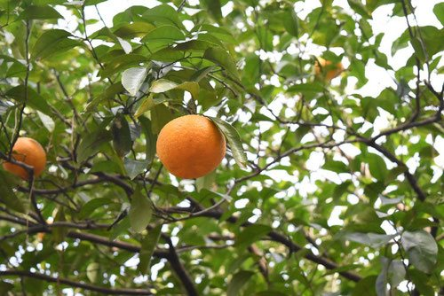bitter orange,fruits,picture
