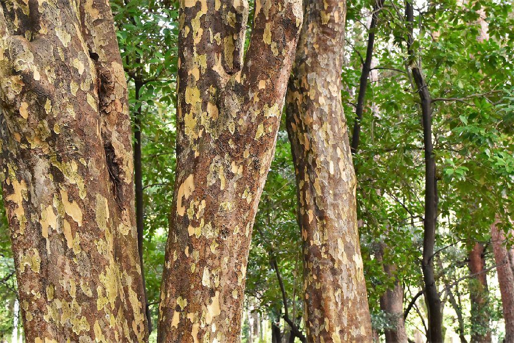 カゴノキ 樹皮 写真