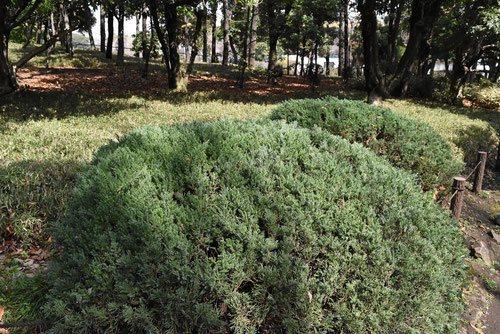 ビャクシン 庭木図鑑