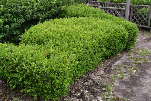 ボックスウッド 植木