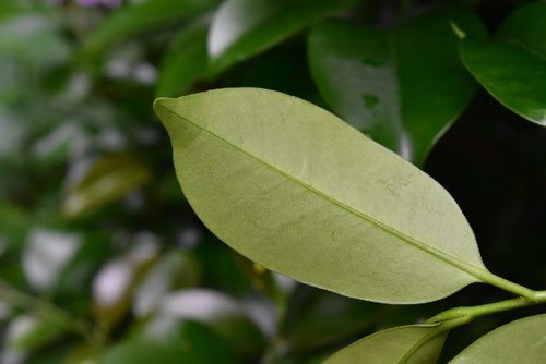 Japanese cleyera,leaf,picture