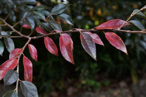 赤い葉 トキワマンサク