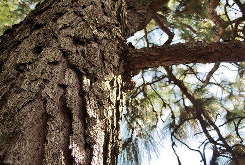 松の種類,葉が長い松
