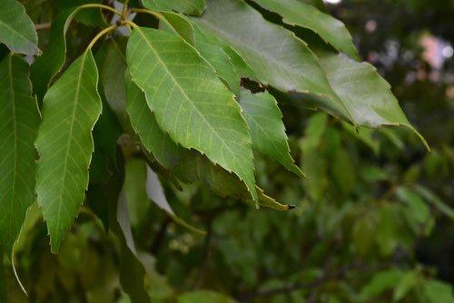 ウラジロガシの葉 写真