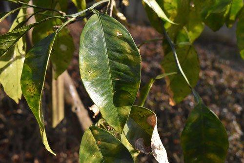 bitter orange,leaf