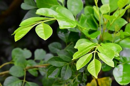 シマトネリコ,葉っぱ,画像