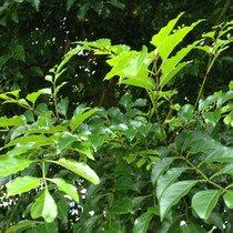 生育が早い植木