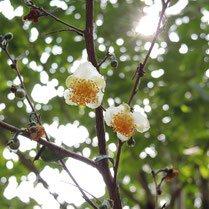 秋に白い花が咲く木