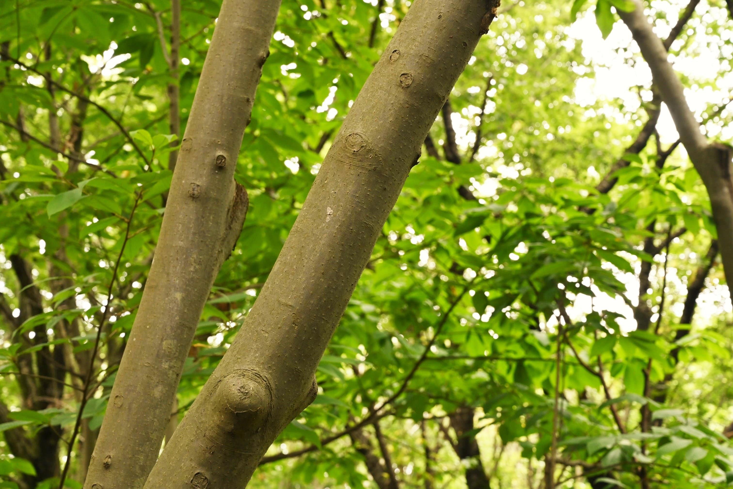 アブクタラシ 樹木図鑑