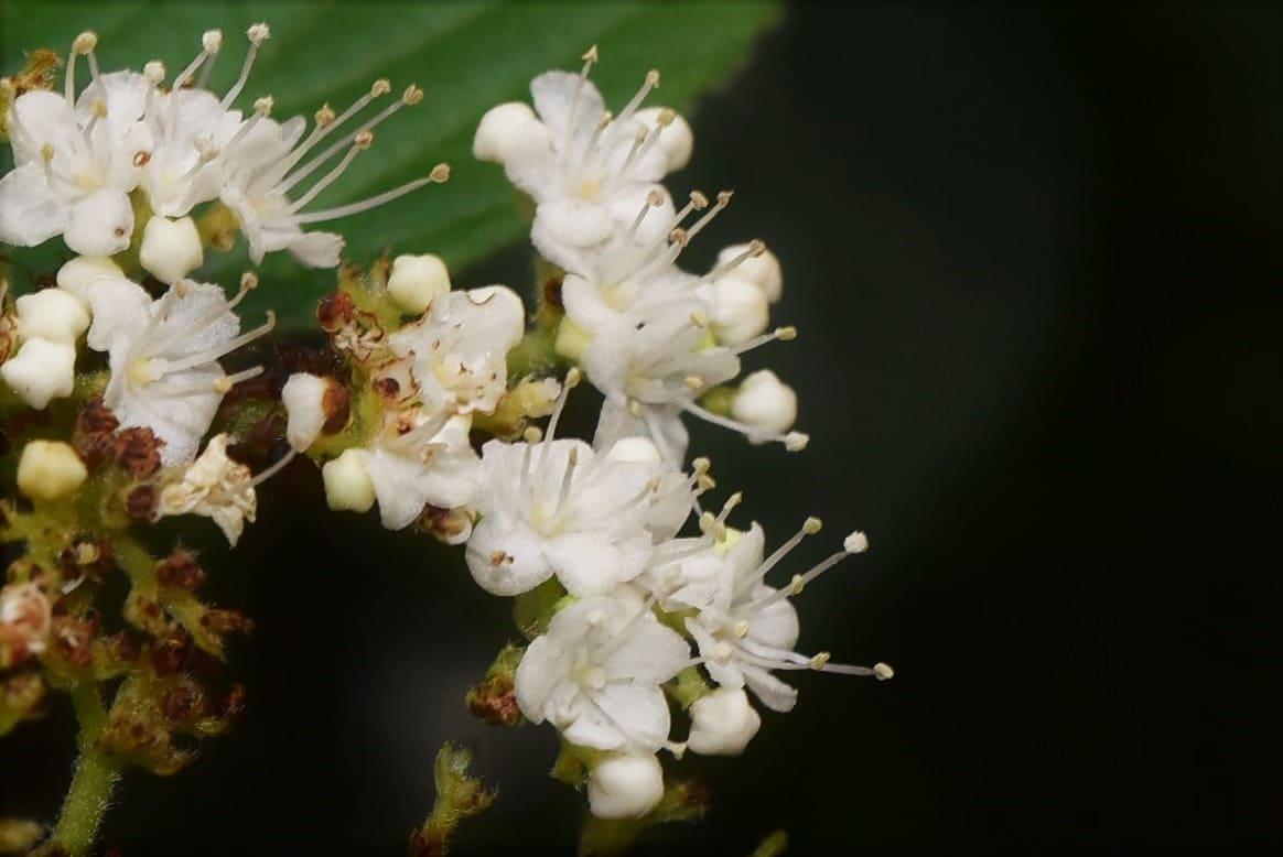ガマズミの花 特徴