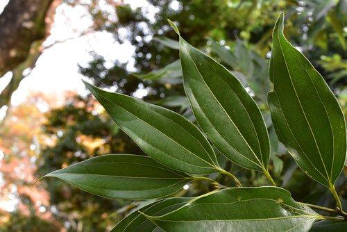 ニッケイ,にっけい,木,葉っぱ,特徴
