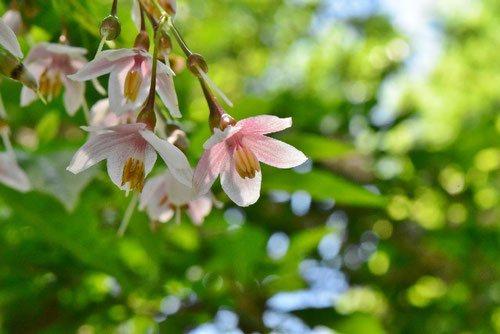 ピンク色のエゴノキ,えごのき,種類