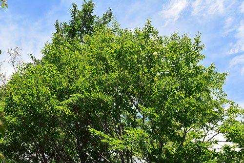 アオダモ 樹木図鑑