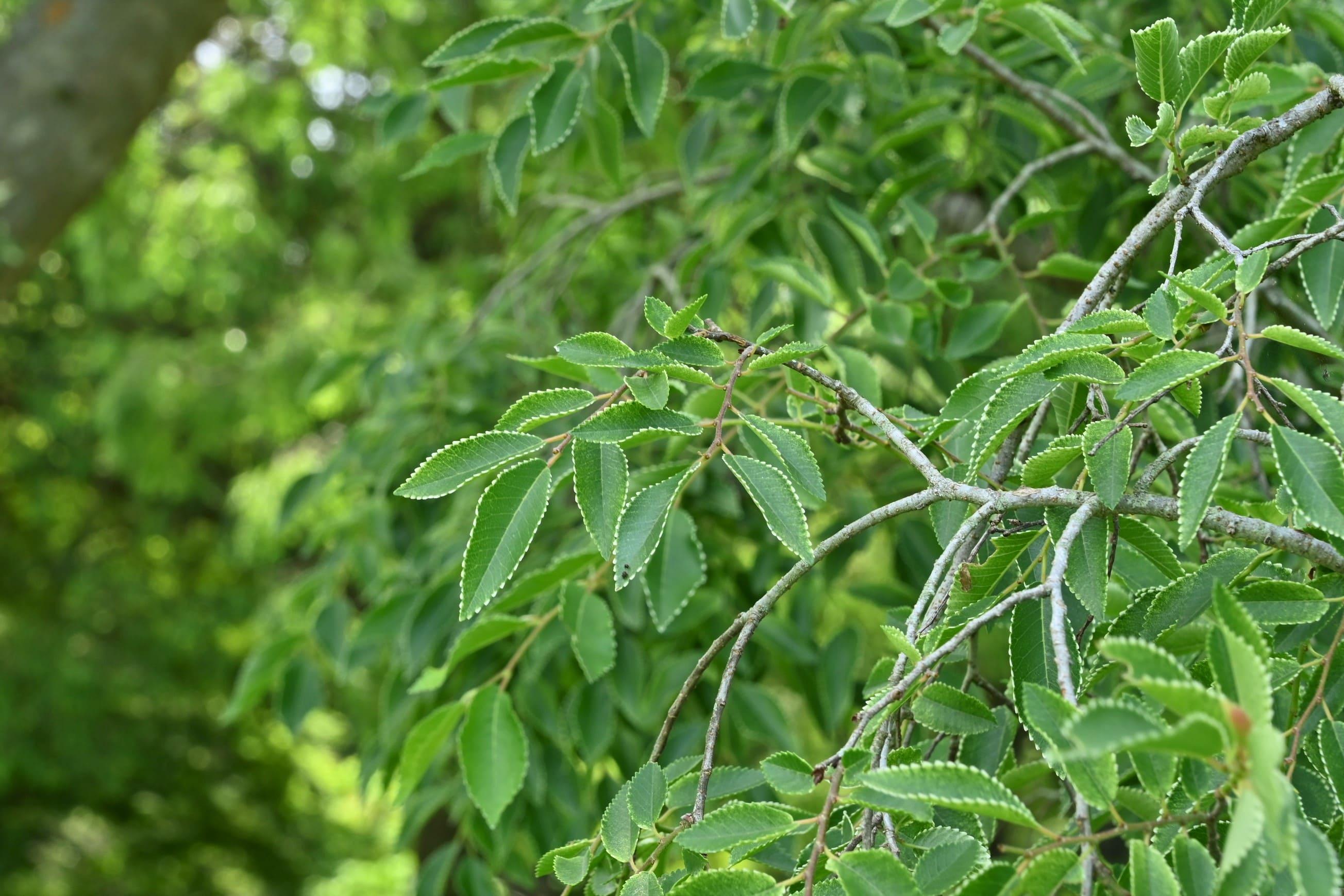 秋楡の葉,あきにれ,アキニレ