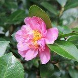 山茶花,さざんか,種類
