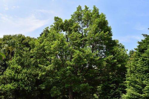 オガタマノキ 樹形