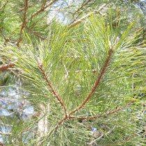 成長が早い木 おすすめ