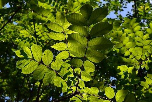 ウルシの葉っぱ,うるし,画像