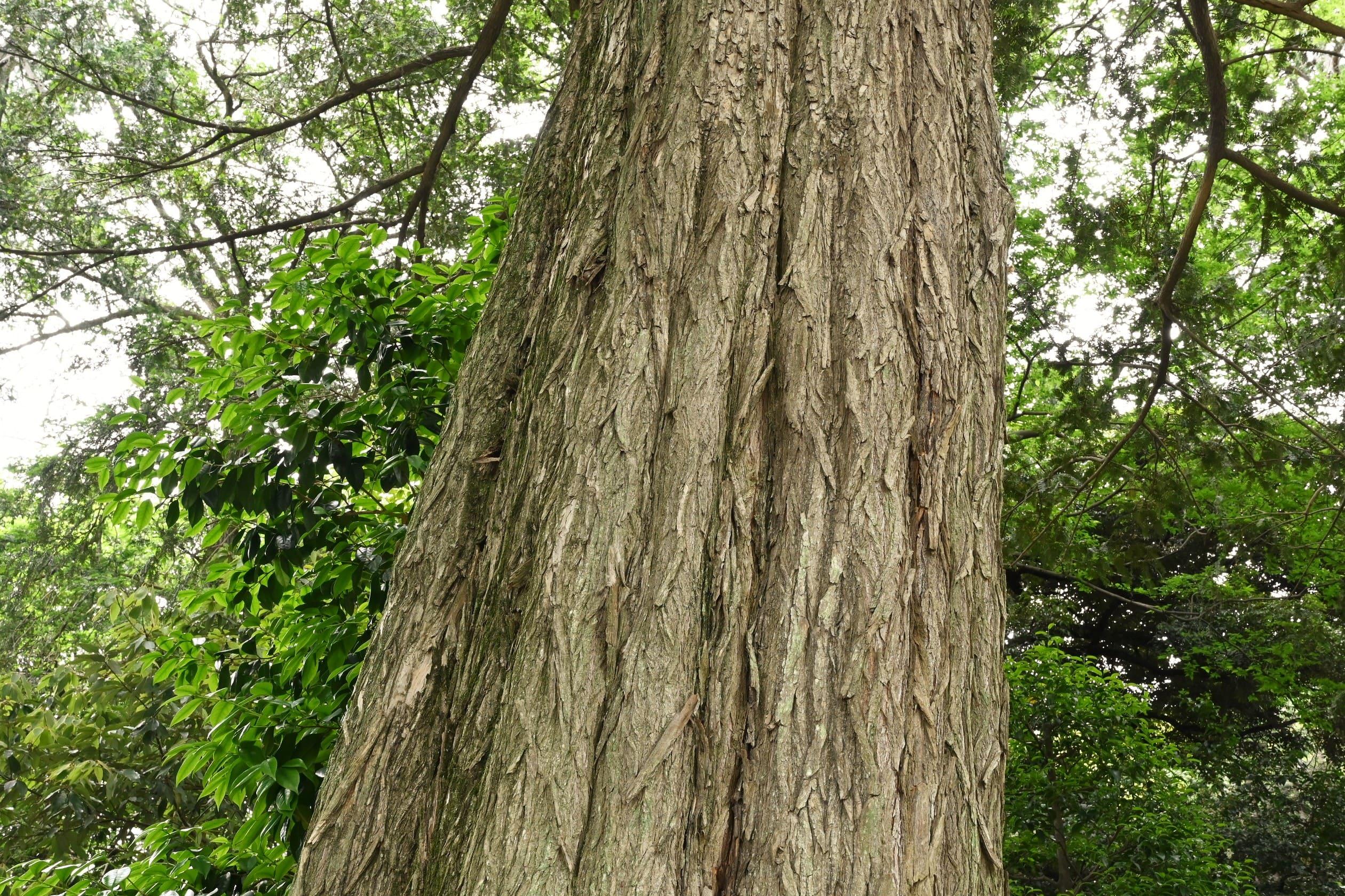 Torreya,tree