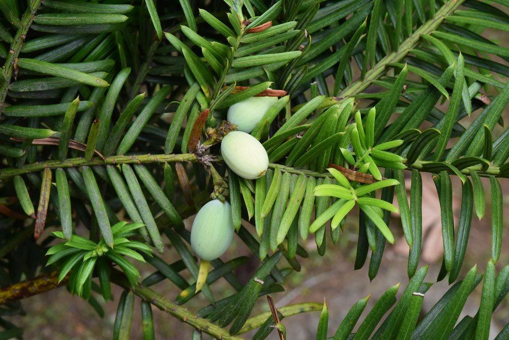 Japanese plum yew,fruits