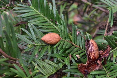 イヌガヤの種子 アーモンド