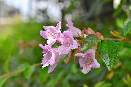アベリア ピンク花 画像