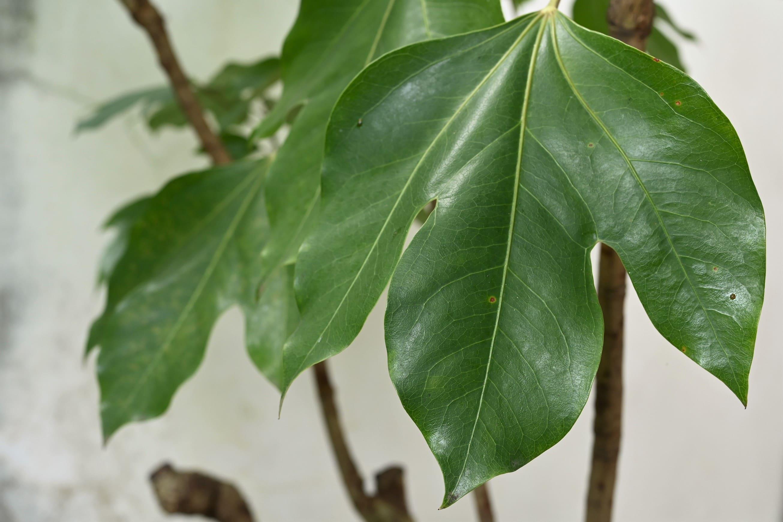 カクレミノ 樹木