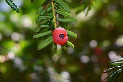 イチイ,植物,赤い実
