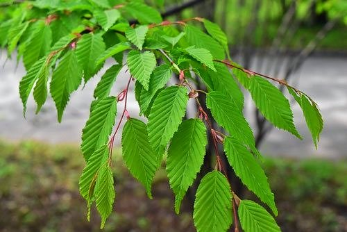 Japanese loose-flowered Hornbeam