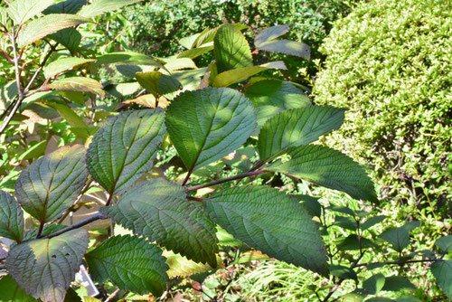 オオデマリ,木,葉っぱ