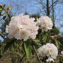 ピンクの花が咲く木 種類