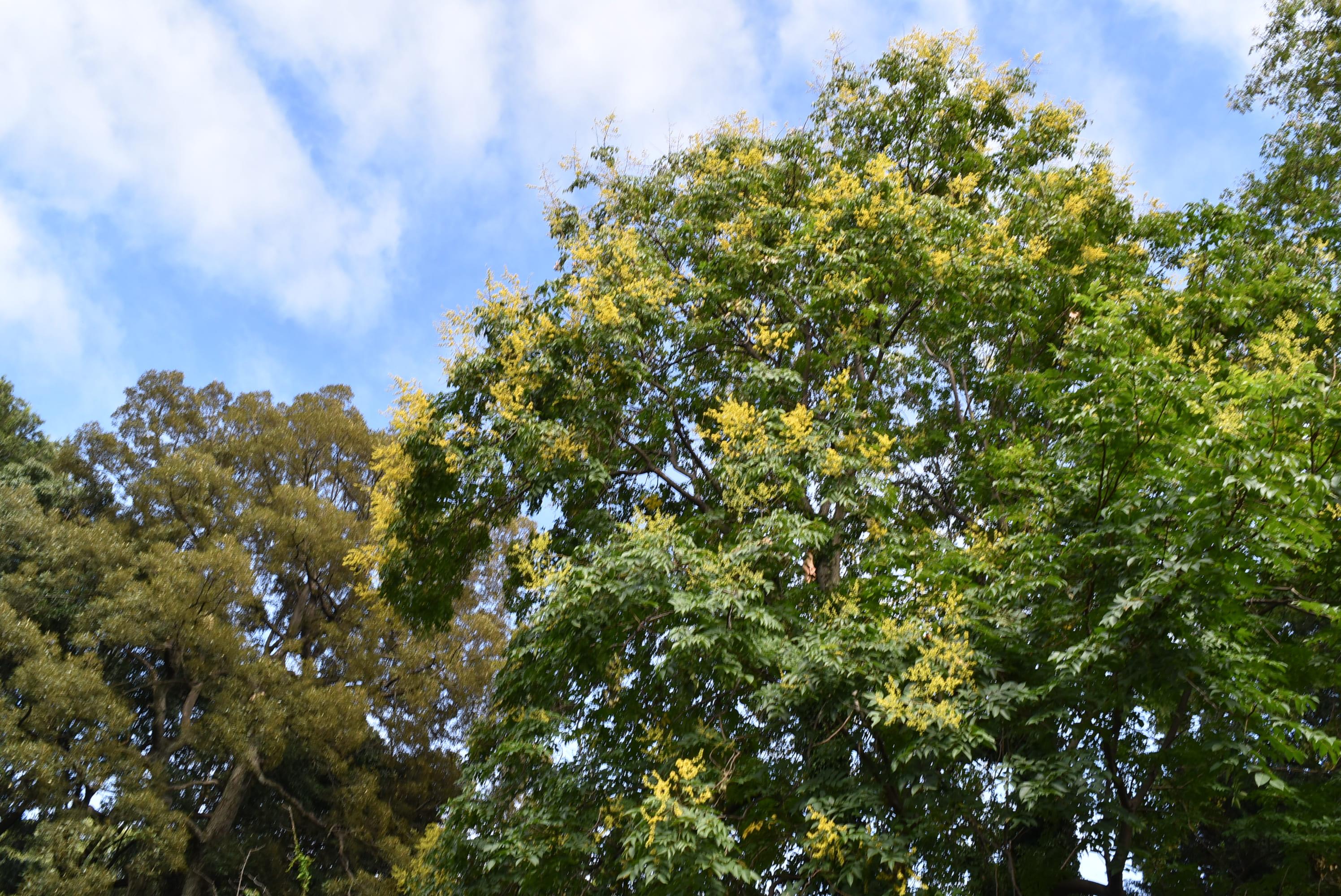 フクロミモクゲンジ 花