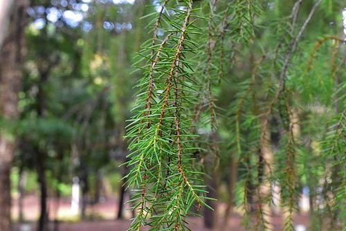 needle juniper,leaf
