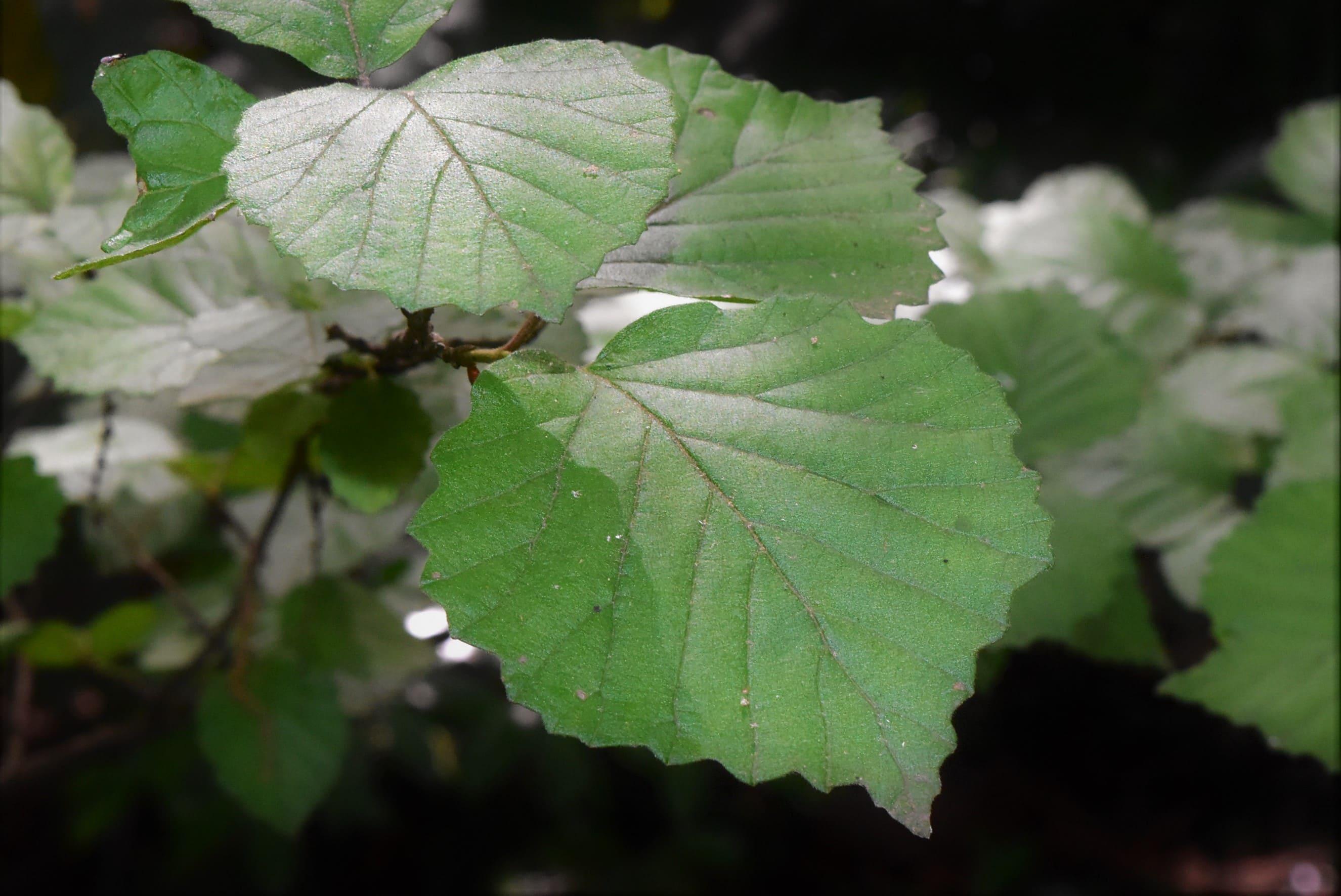 シモフリグミ 葉っぱ