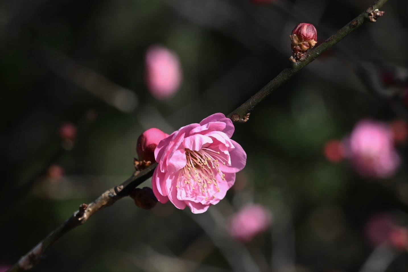flowers of Japanese apricot