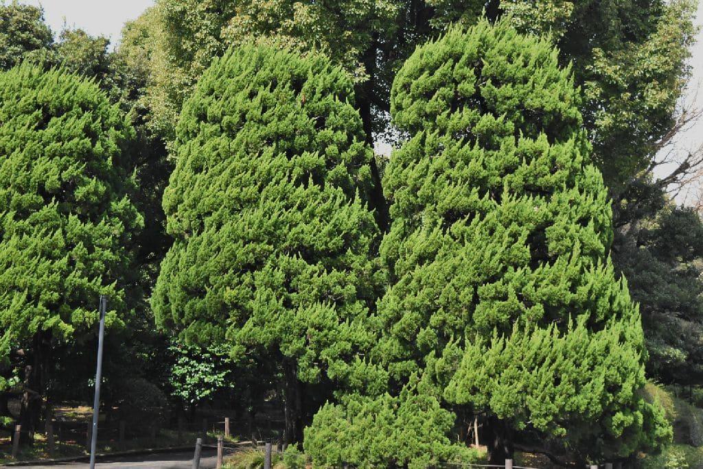 垣根に適した木 カイヅカイブキ