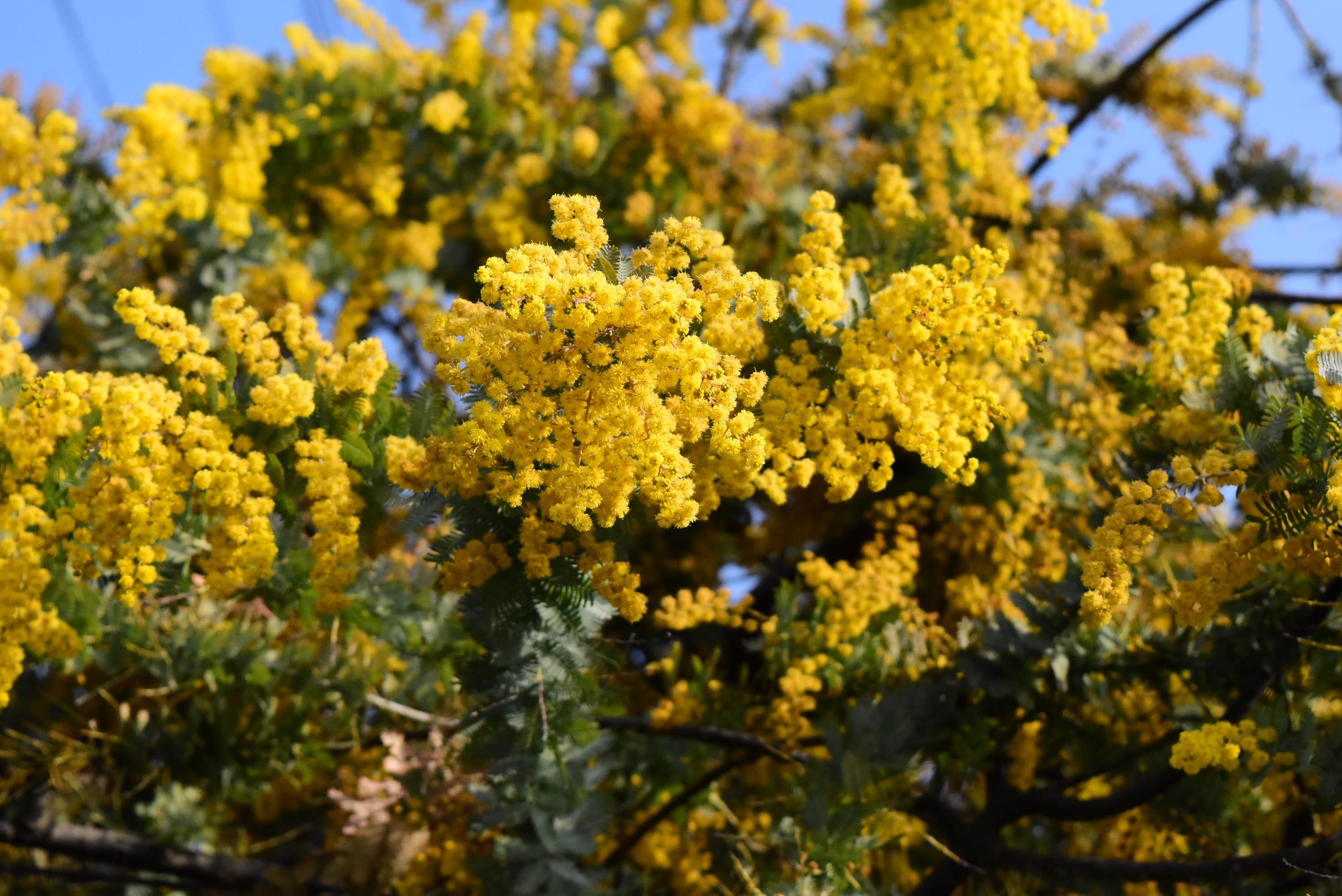 ミモザの花 画像 フリー