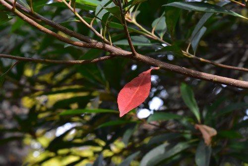 ホルトノキ 葉っぱ 赤い