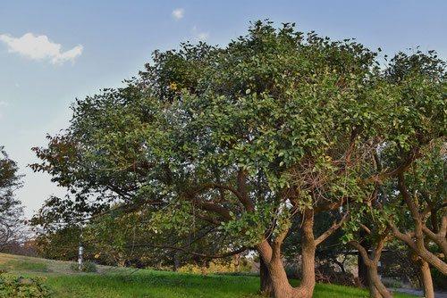 アメリカデイゴ,デイゴの木,樹木図鑑