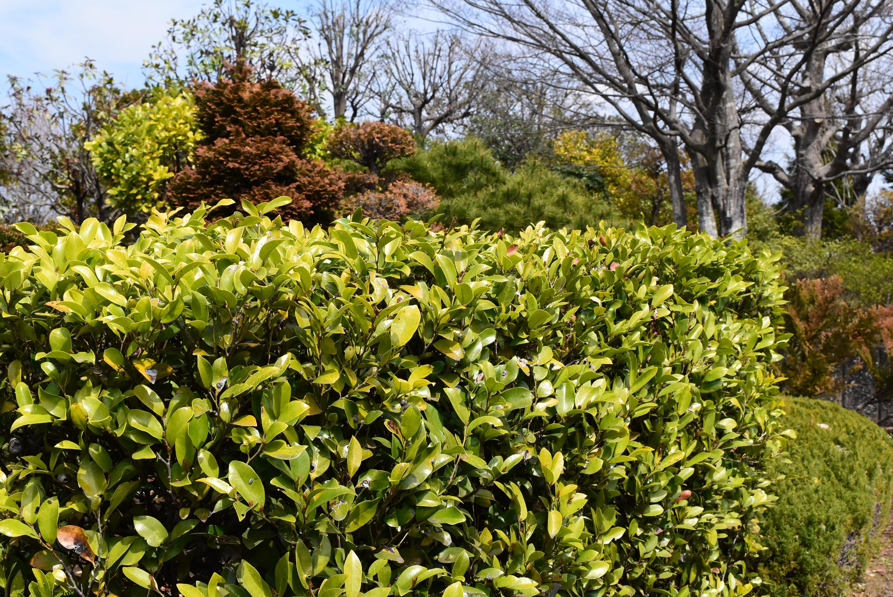 垣根に適した木 イスノキ