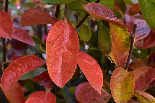 柿の紅葉,黄葉